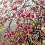 Gemälde von Julia Belot: Magnolie, Öl auf Leinwand, 100 cm x 240 cm, 2020